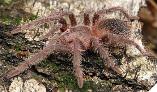 Lasiodora striatipes самка 3см